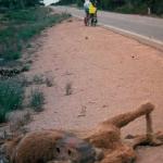 Roadkill Camel