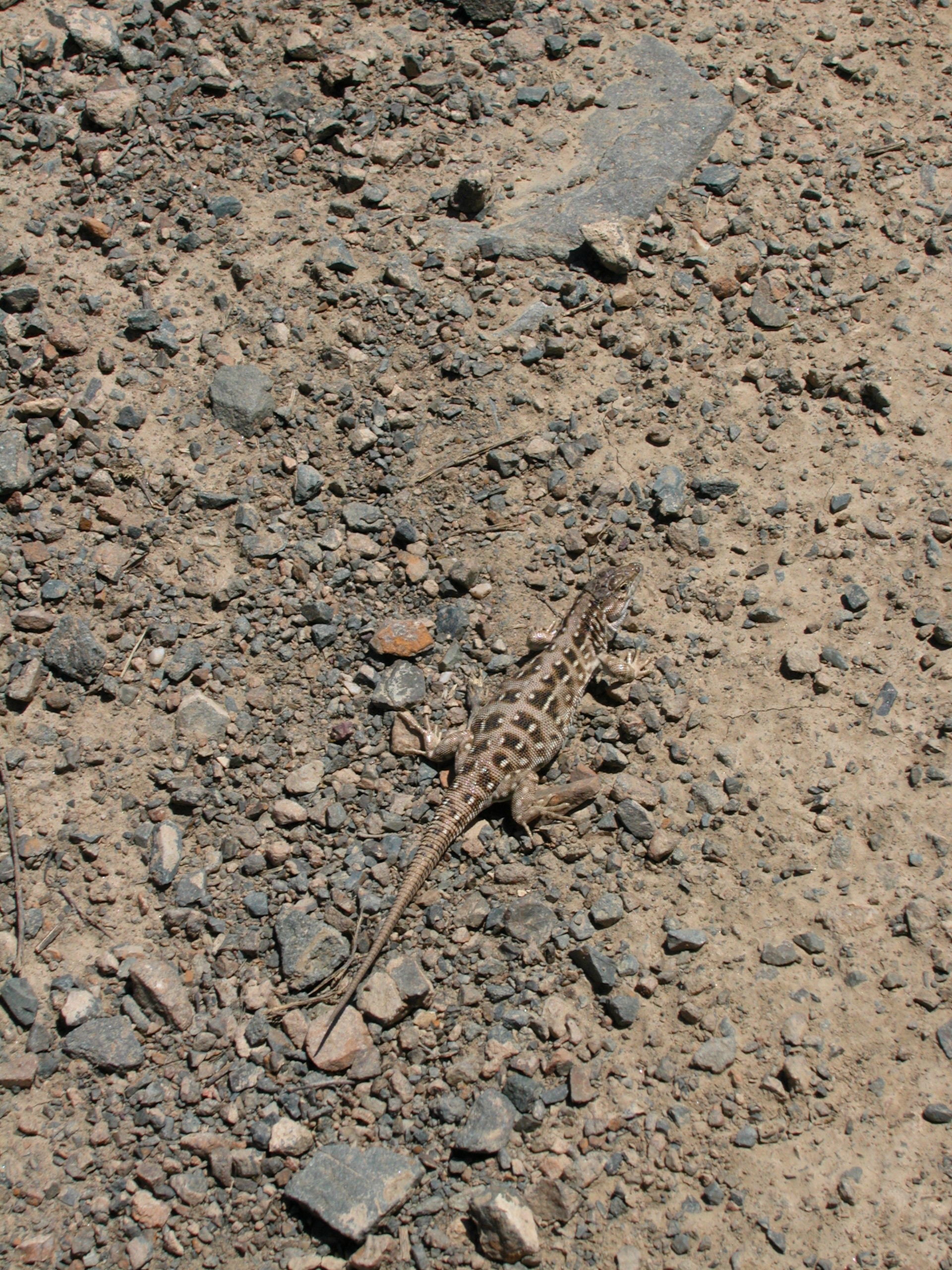 Lizard of the steppes.