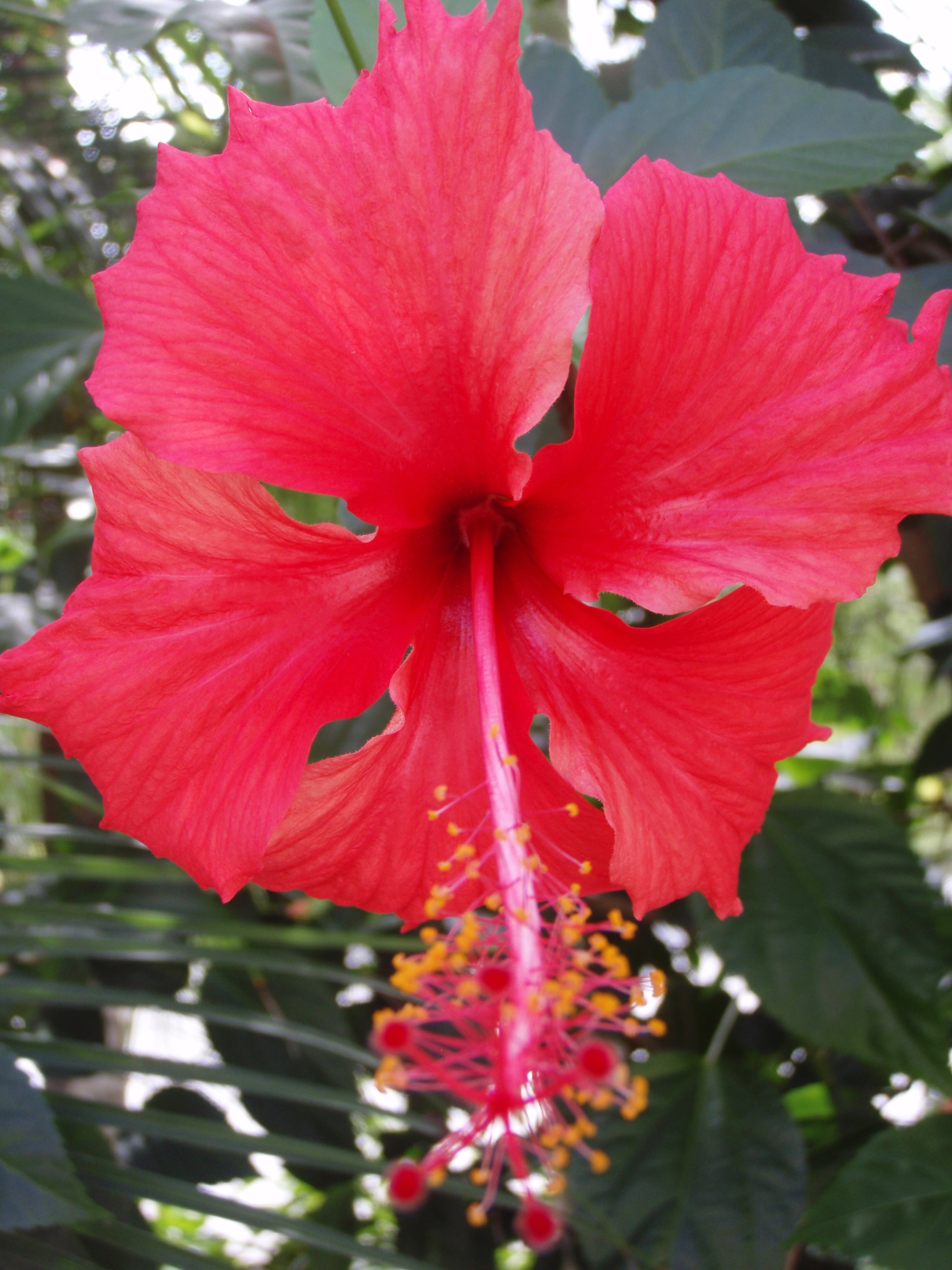 Hibiscus in Southern Yunnan