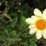 Flower in Shangri-la