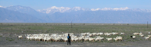 Sheep and the Tian Shan.