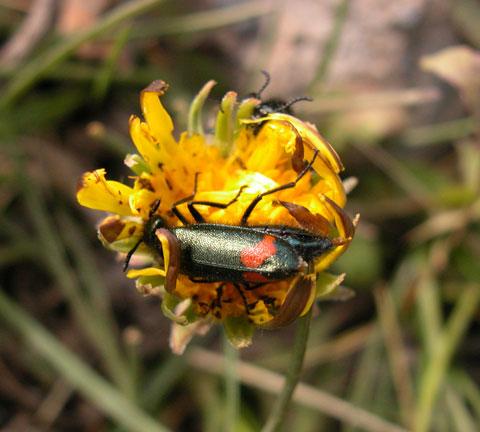 Tian Shan beetle.