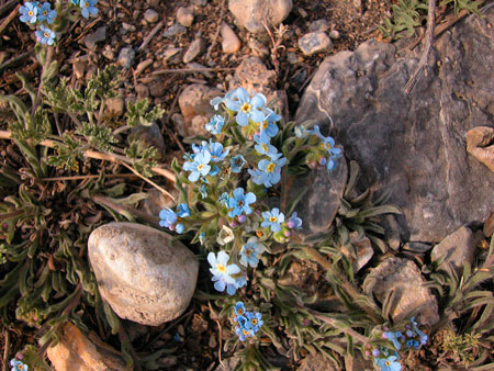 Tian Shan tiny flowers.