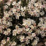 Tian Shan flowers.
