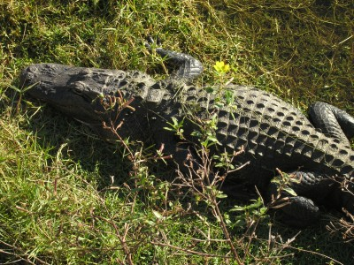 gator nap