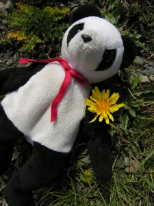 Lucky proving that dandelions grow everywhere, even at 14,339 feet in China