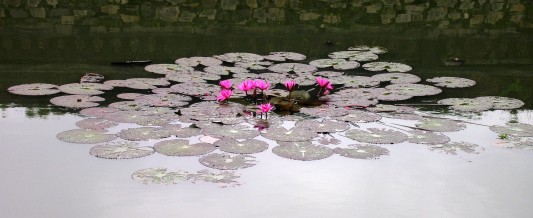 Lotus flowers in Hue, Vietnam