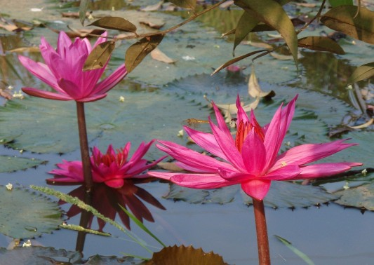 Lotus Blossoms