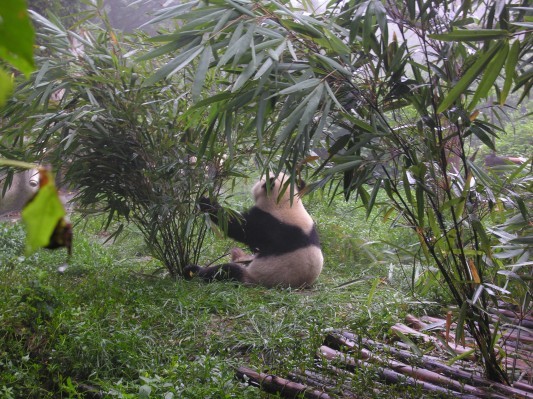 Giant panda doing what pandas do best, eating.