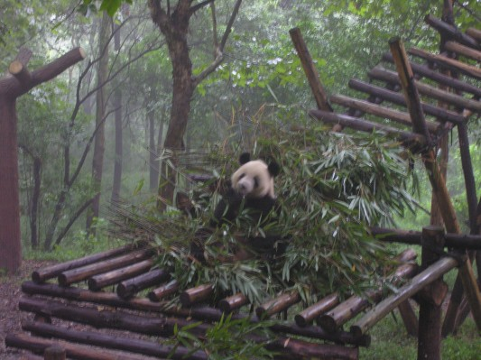 This panda found a stash of bamboo, and a good place to watch tourists