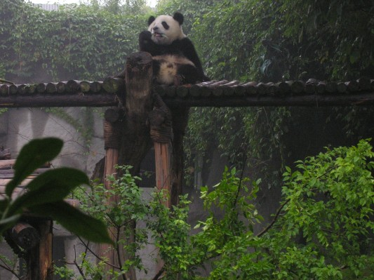 Panda Cubs Like Climbing