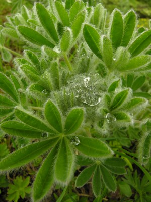 Lupine and water droplets
