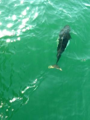 Dall Porpoise in Prince William Sound