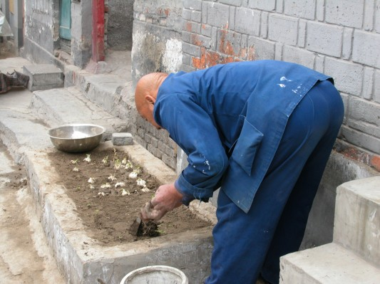Planting Garlic in a Beijing Hutong