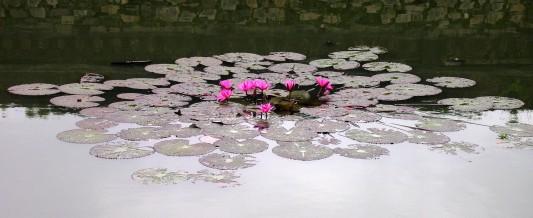 Water Lilies in Hue