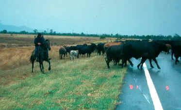 Queensland cowboy