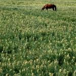 Kazakh horse.