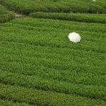Picking Tea in Sichuan