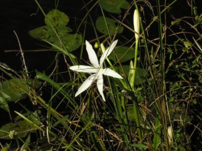 everglades flower 1