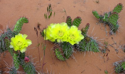 Prickley Pear in Arches NP