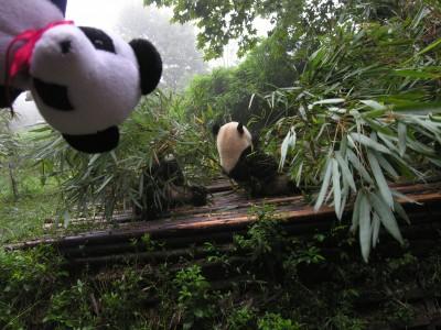 Lucky and a cousin panda