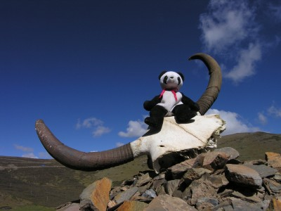 Lucky Found Yak Horns