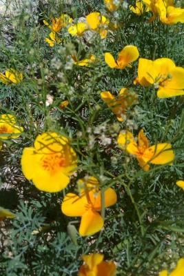 Poppies in Bear Canyon Near Tucson