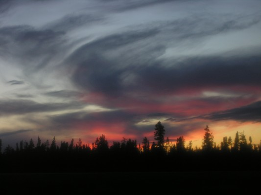 batterd spruce trees blue, pink, yellow sky silouette