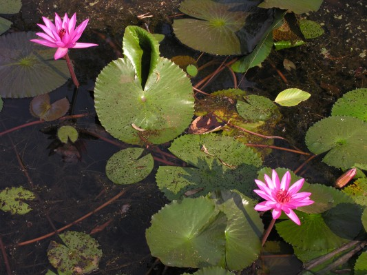 cambodian water lilies